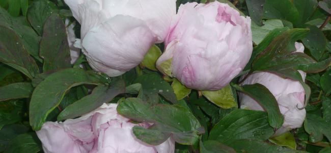 Klondyke and Floors Castle gardens for buying lovely shrubs, bulbs and plants